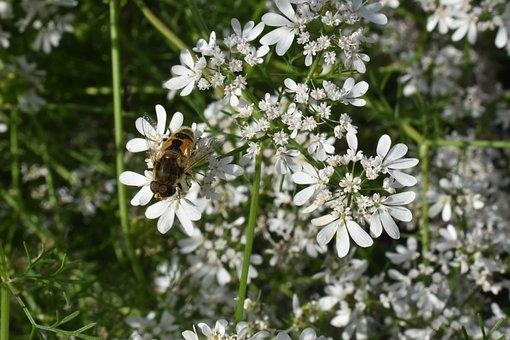 Insect, Flowers, Coriander, Cilantro, Cheloveka, Nature
