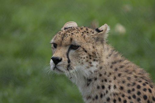 Cheetah, Fota Wildlife Park, Cobh, Cork, Ireland