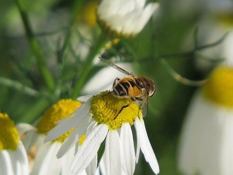 Cheloveka Common, Insect, Eristalis Tenax, Daisy, Drug