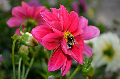 Dahlia, Flower, Bumblebee, Bright, Green, Pink, Flowers