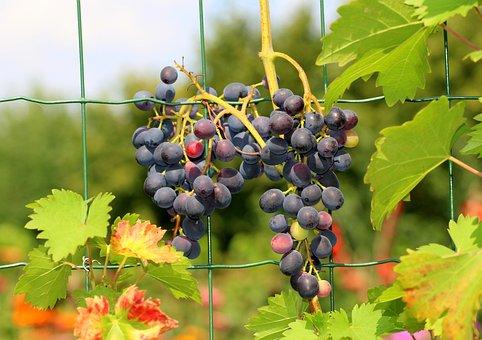 Grapes, Fruit, Summer, Vines, Gołubok, Mature, Food