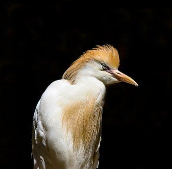 Animals, Bird, Heron, Cattle Egret, Feather, Hood