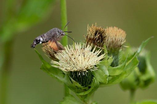 Hummingbird Hawk Moth, Carp Tail, Owls, Thistle Flower