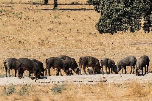 Spain, Extremadura, Encina Trees, Iberian Pig