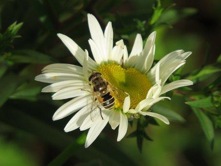 Cheloveka Common, Insect, Eristalis Tenax, Daisy