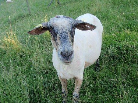 Sheep, Meadow, Shorn, Wool, Mammal, Pasture, Flock
