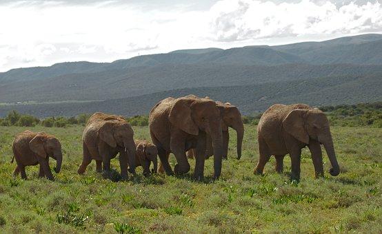 Elephant, Young, Old, Herd, Animal, Addo, National