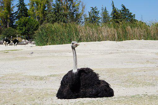 Ostrich, Ave Estrutioniforme, Animals, Safari, Africa