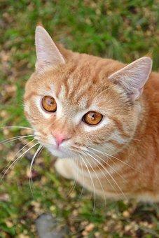 Cat, Redhead, Pet, Animals, Housecat, Eyes, Darling