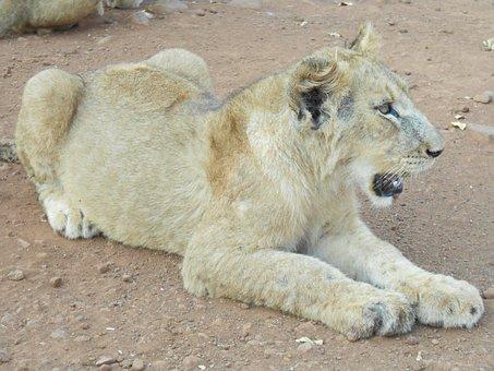 Lion, White Lion, Female, Predator, Nature, Lioness