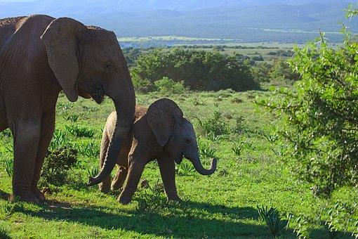 Elephant, Young, Old, Raising, Animal, Addo, National
