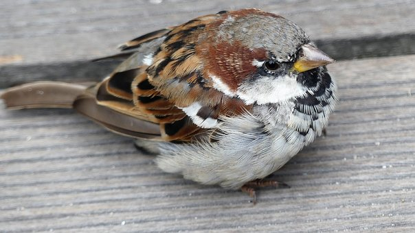Sparrow, Bird, Sperling, Plumage, Cheeky, Animal World