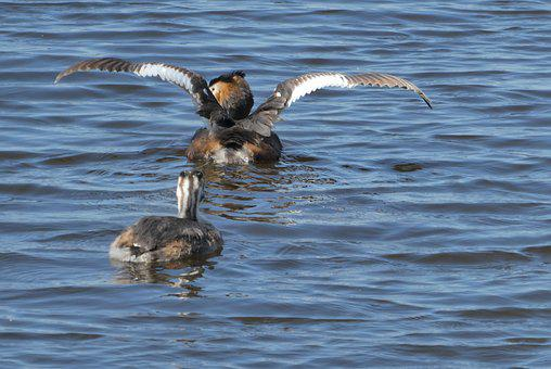 Great Crested Grebe With Young Boy, Ditch, Spring