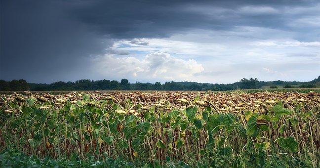 Storm, Sunflowers, Landscape, Nature, View, Field