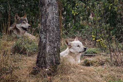 Wolf, Predator, Animal, Mammal, Nature, Animal World
