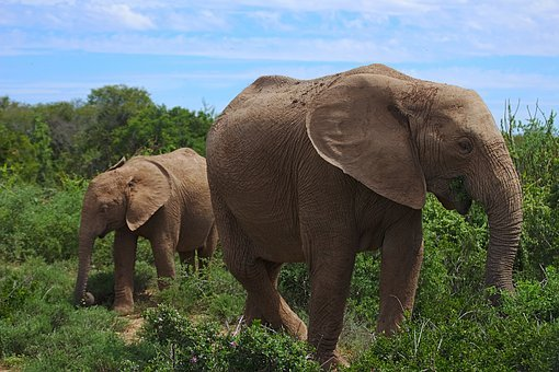 Elephant, Young, Old, Animal, Addo, National, Park