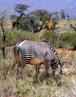 Africa, Wildlife, Zebra, Grevy Zebra, Giraffe, Safari