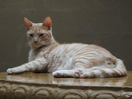 Cat, Gata, Feline, Pet, Kitten, Animals, Brindle