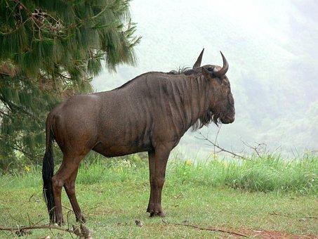 Blue Wildebeest, Gnu, Brindled, Wildebeest, Wildlife