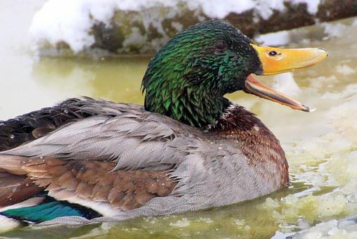 Mallard, Male, Drake, Plumage, Colorful, Swim, Bill