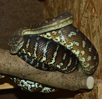 Snake, Carpet Python, Boa, Constrictor, Reptile, Python