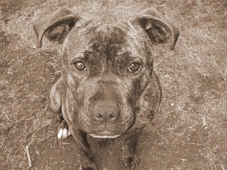 Staffy, Dog, Brindle, Staffordshire, Bull Terrier