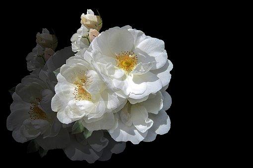 Flowers, Rose, White Rose, Mirroring, Double Exposure