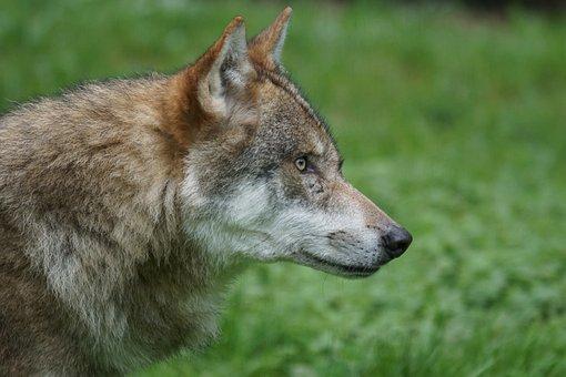 Wolf, Predator, Carnivores, European Wolf, Pack Animal