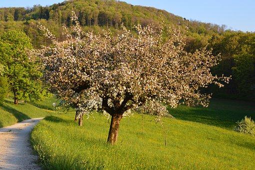 Cherry Tree, Spring, Flowers, Cherry Blossoms, Cherry