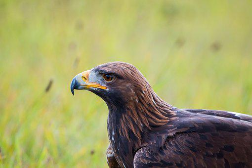 Golden Eagle, Adler, Bird, Feather, Nature, Wild Bird