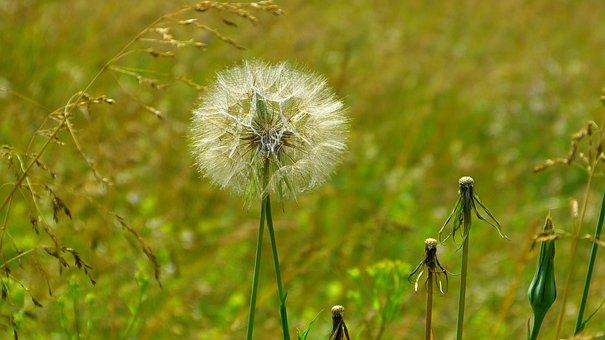 Meadow, Dandelion, Dandelions, Flowers, Grass, Plant