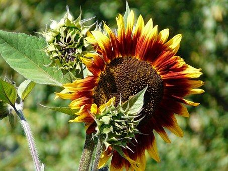 Sunflower, Sun, Light, Flower, Flowers, Ticket, Green