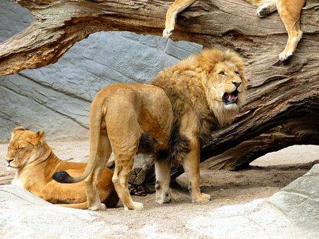 Lion, Lioness, Lion Females, Cat, Predator, Big Cat
