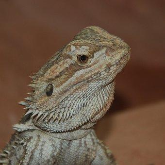 Lizard, Scale, Spur, Head, Reptile, Zoo, Nature