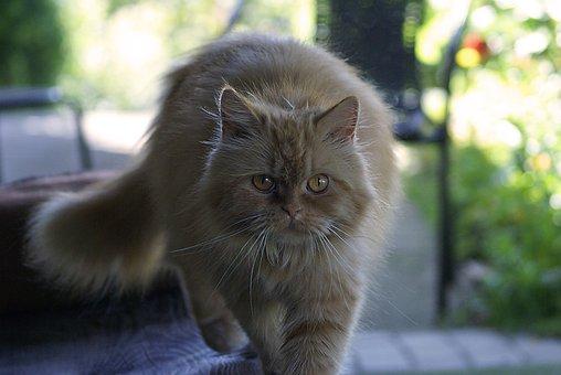 Cat, Mammal, Animal, Eyes, Domestic Cat, Fur