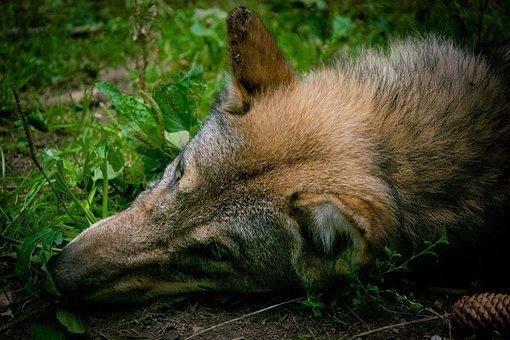 Wolf, Head, Fur, Ears, Nose, Schnute, Snout