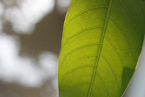 Leaf, Single, One, Green, Mango, Fresh, Empty, Nature