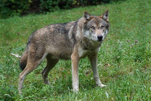 Wolf, Predator, European Wolf, Carnivores, Pack Animal