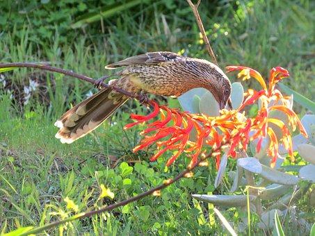 Little Wattle Bird, Goolwa, South Australia