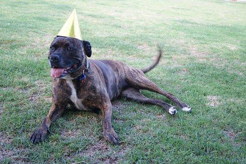 Staffy, Dog, Birthday, Staffordshire, Bull Terrier