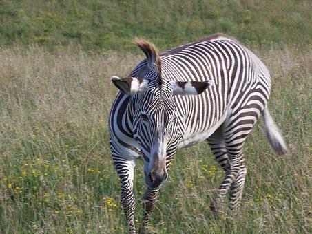 Grevy's Zebra, Zebra, Imperial Zebra, Stripes, Safari