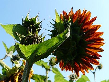 Sunflower, Sun, Light, Flower, Ticket, Green, Orange