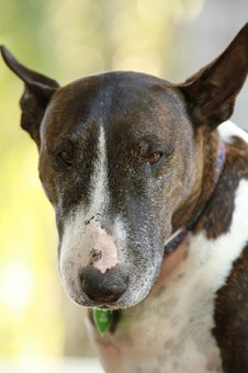 Bull Terrier, Bullterrier, English, Dog, Bull, Terrier