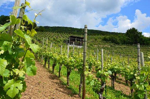 Vineyard, Vines, Wine, Vines Stock, Winegrowing, Slope
