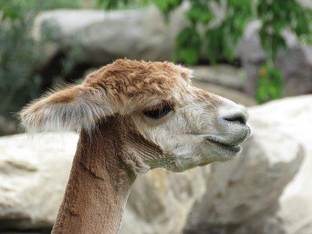 Alpaca, Shaved, Animal, Zoo, Mammal