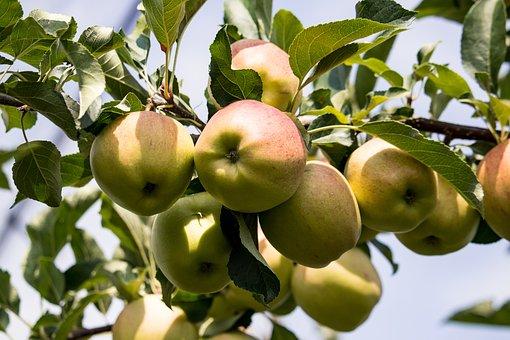 Apple, Apple Tree, Fruits, Kernobstgewaechs, Fruit