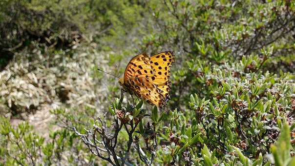 Japan, Butterfly, Argynnis, Paphia, Silver-washed