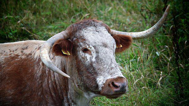 Steer, Bull, Cow, Cattle, Livestock, Agriculture, Beef