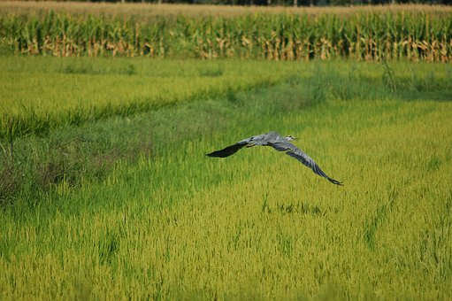 Gray Heron, Bird, Ali, Flight