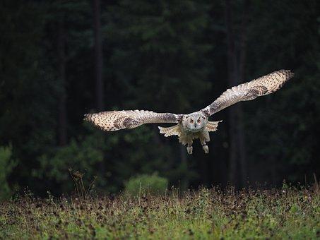 Bird, Animal, Owl, Owl Siberian, Flight, Predator